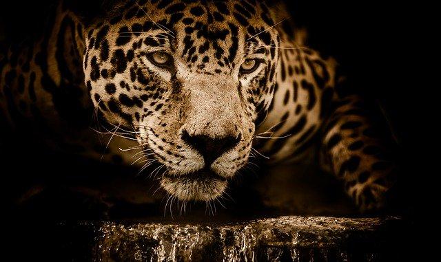 číhající jaguár